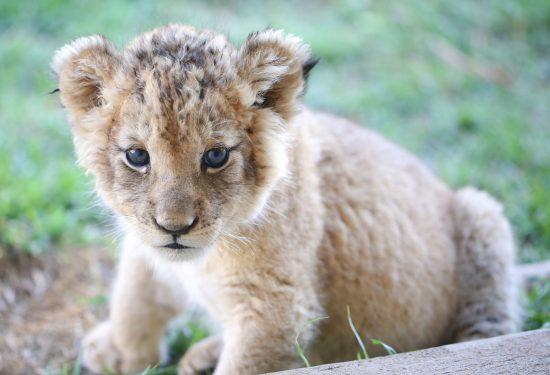 lions_2