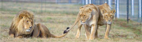 lions_intro